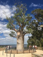 The oldest tree in Kings Park, a boab tree.