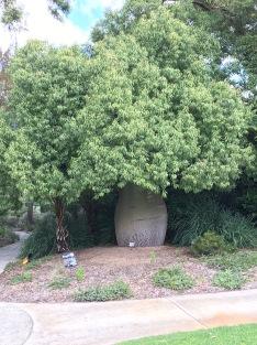 Bottle tree in Kings Park.