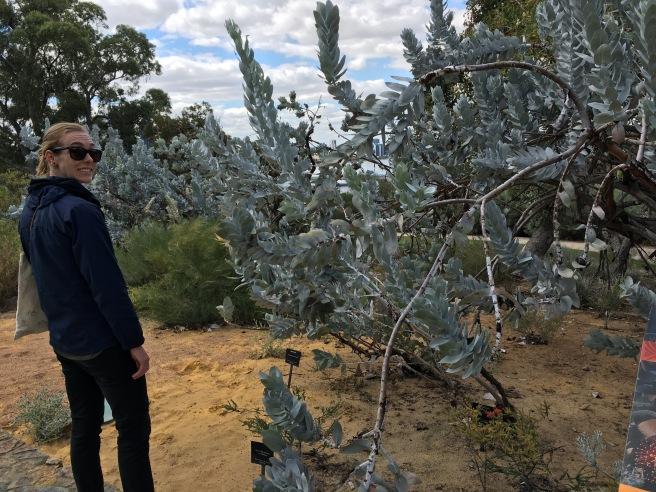 More eucalyptus macrocarpa.