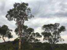 Pretty trees; we think they might be Jarrah trees.