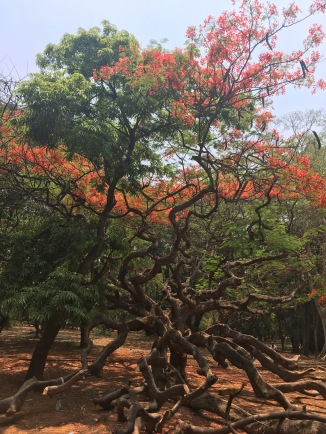 Some cool trees in Cubbon Park in Bangalore.
