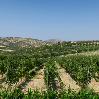 The olive orchards around the organic farm.
