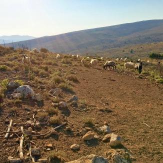 Sheep herds roaming the farm.