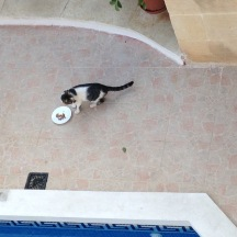 Ħal eating his feast. Maltese wet cat food is extra stinky.