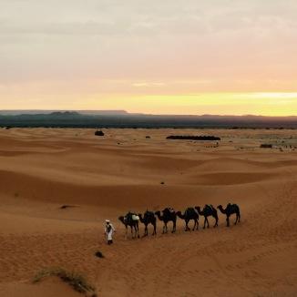 A camel caravan.
