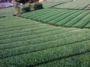 The green tea plantations were amazing. So tidy.
