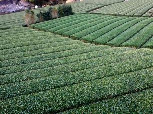 The green tea plantations were amazing. So tidy.